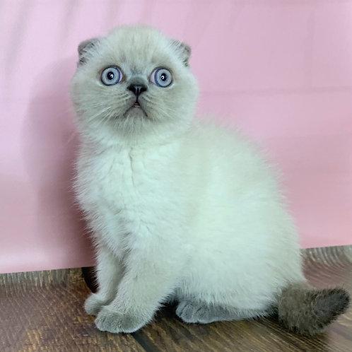 505 William Scottish fold shorthair male kitten