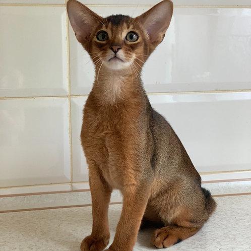 Zak purebred Abyssinian male kitten