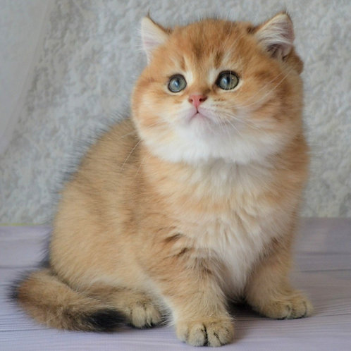 525 Nemo  British shorthair male kitten