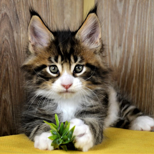 768 Divnyy Maine Coon male kitten
