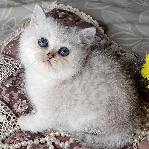 553 Garvin  British shorthair male kitten