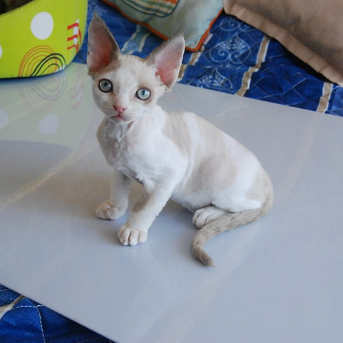 357 Dragon male kitten Devon Rex
