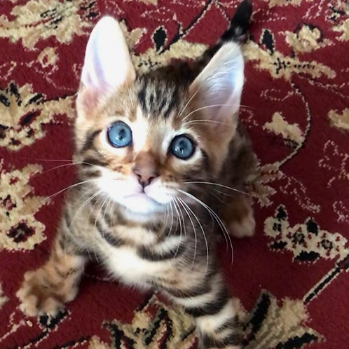 61 Hercules   purebred Bengal male kitten