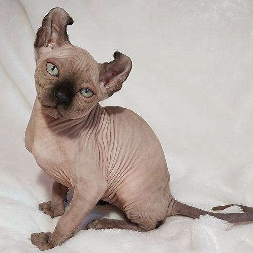 323 Evian  male Elf  kitten