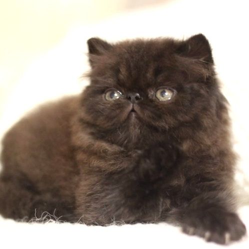 116 Max   Persian  male kitten