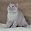 Thumbnail: 343 Greyboy     British shorthair male kitten