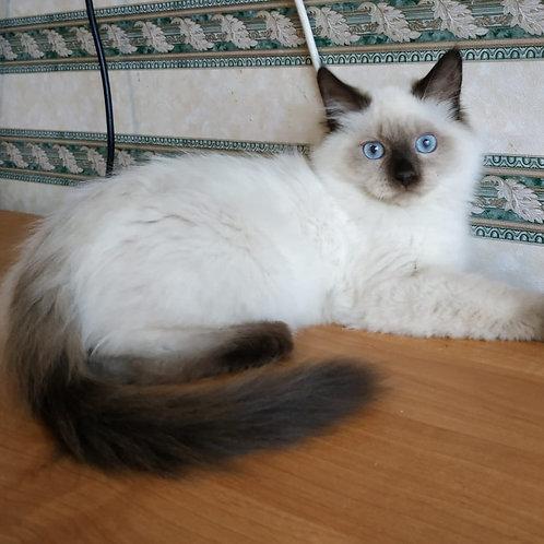 Esaul Siberian male kitten