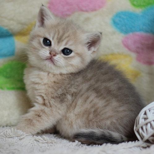 585 Ksenia  British shorthair female kitten