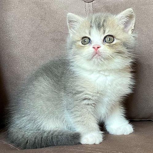 796 John   Scottish straight shorthair male kitten