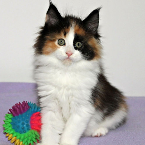879 Dolche Vita Maine Coon female kitten