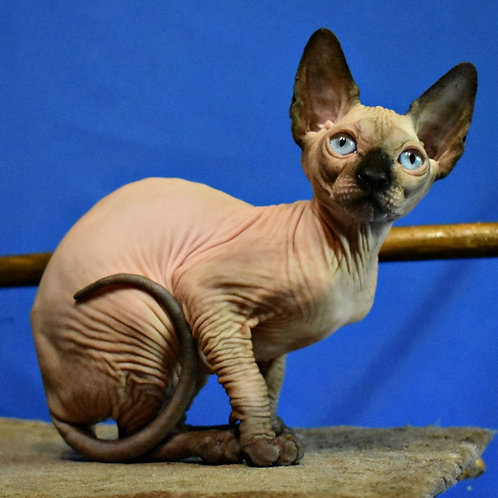 Kleopatra female Sphinx kitten