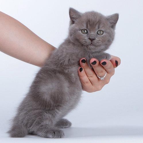 940 Xia       Munchkin shorthair male kitten