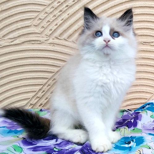 222 Naisa      Siberian female kitten