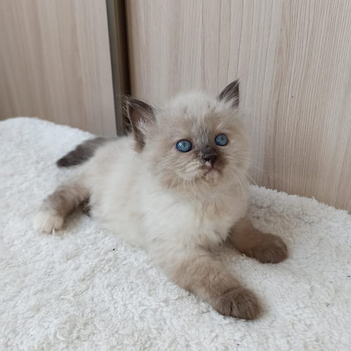 Izyuminka Siberian female kitten