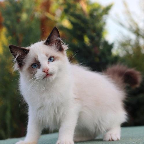 280 Elesey  Ragdoll male kitten