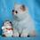 Thumbnail: 250 Villy  Exotic  male kitten