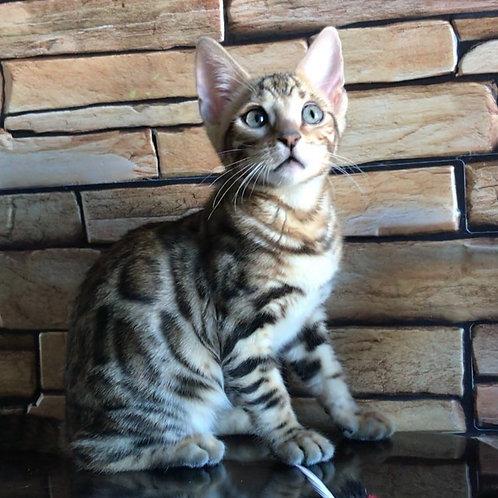 106 Vivien   purebred Bengal female kitten