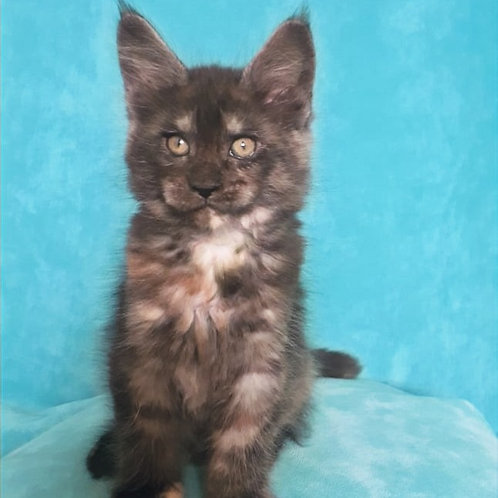 477 Intuition  Maine Coon female kitten
