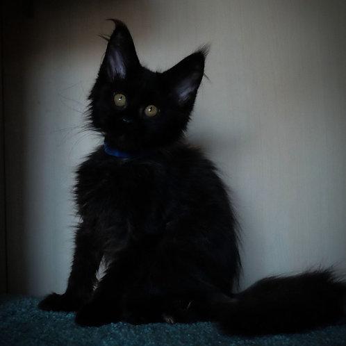 291 Begemot    Maine Coon male kitten