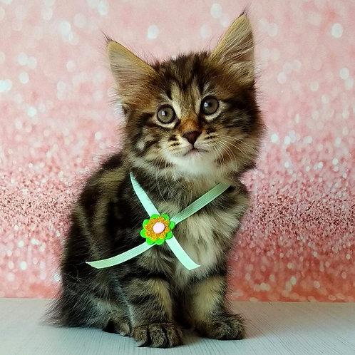 370 Nika   Kurilian Bobtail female kitten