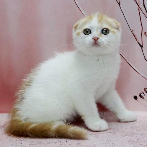 587 Jasmin   Scottish fold shorthair female kitten