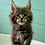 Thumbnail: 94 Ilker    Maine Coon male kitten