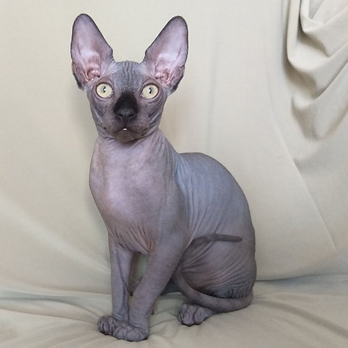 Patrick male Sphinx kitten