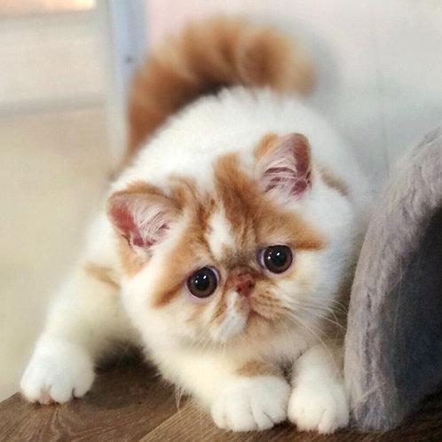 168 Popcorn Exotic shorthair male kitten
