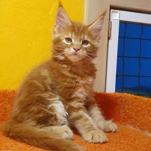 Atos Maine Coon male kitten