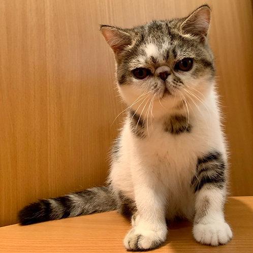 162 Yegorka   Exotic  male kitten