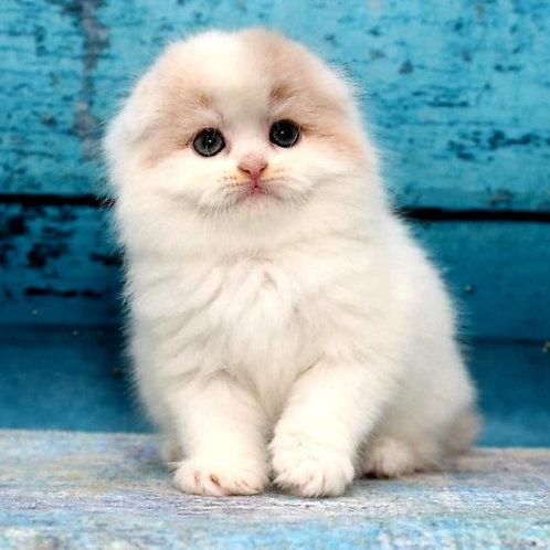 1085 Google  Scottish fold longhair male kitten