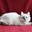 Thumbnail: 105 Natalina   Siberian female kitten