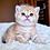 Thumbnail: 568 Yasha  British shorthair male kitten