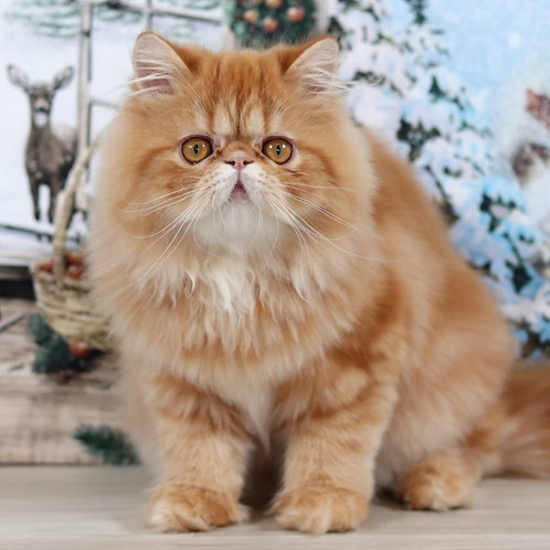 16 Dolly  Persian  female kitten
