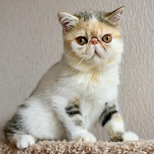 195 Frosya   Exotic  female kitten