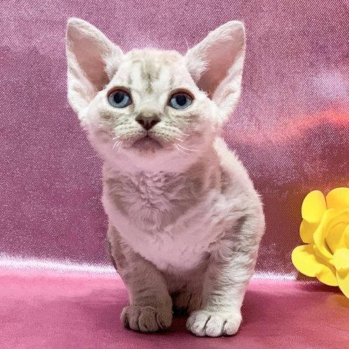 18 Zaznoba   female kitten Devon Rex