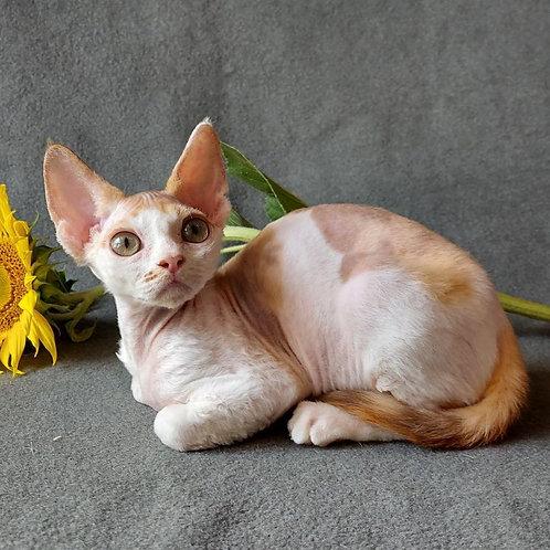 284 Queen of Love female kitten Devon Rex
