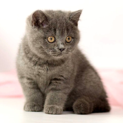 791 Nota  British shorthair female kitten