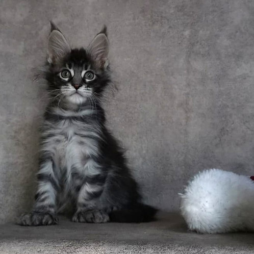 Crossover Maine Coon male kitten