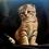 Thumbnail: 361 Alex    Scottish fold shorthair male kitten