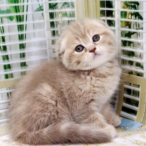 895 Gabby   Scottish fold shorthair female kitten