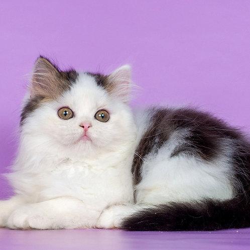 938 Nile   Scottish straight longhair male kitten