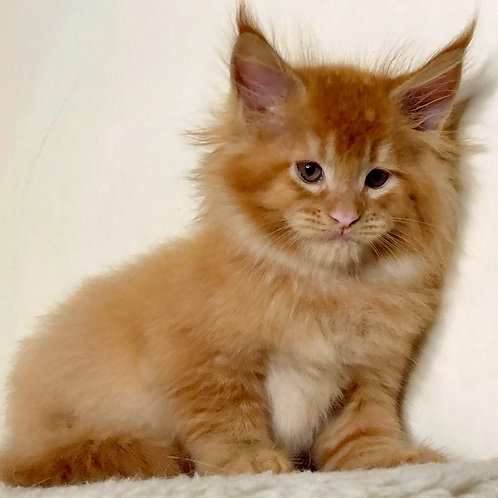 776 Dandelion Maine Coon male kitten
