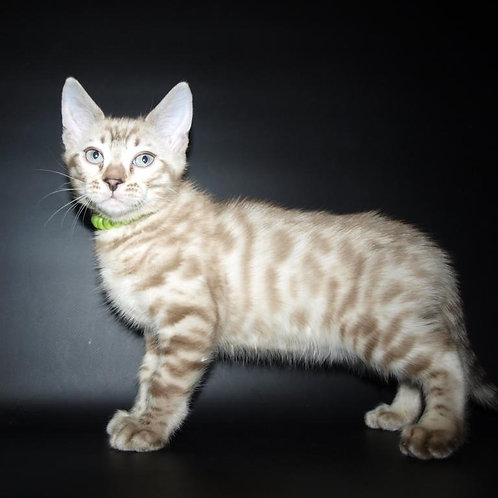 Uolter purebred Bengal male kitten