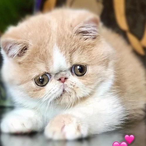 146 Bibi Exotic female kitten