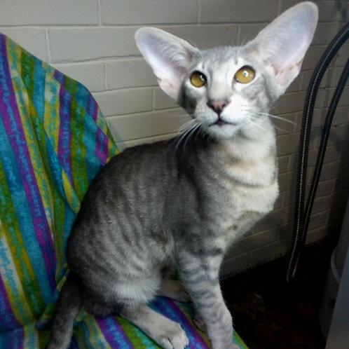 78 Baikal  Oriental male kitten