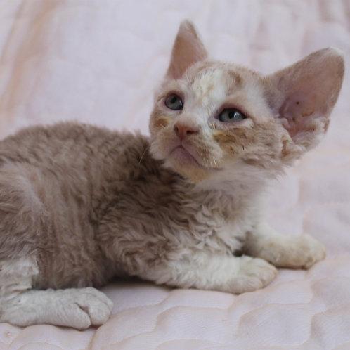315 Begemot male kitten Devon Rex