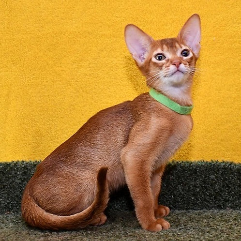 189 Norman   purebred Abyssinian male kitten