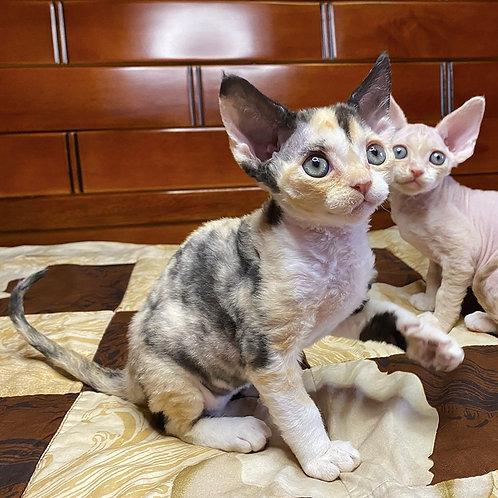Prada female kitten Devon Rex