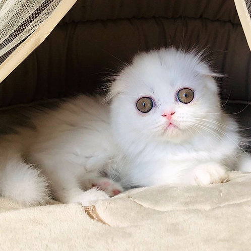 966 Santa  Scottish fold longhair female kitten
